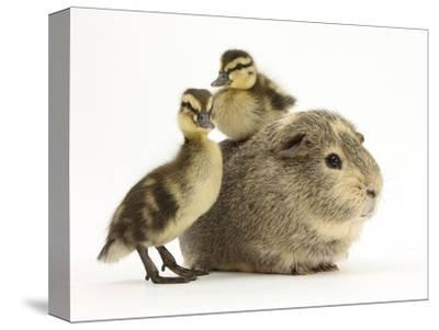 Guinea Pig with Two Mallard Ducklings, One Sitting on its Back-Mark Taylor-Stretched Canvas Print