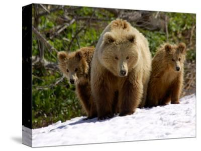 Brown Bear Mother with Cubs, Valley of the Geysers, Kronotsky Zapovednik, Russia-Igor Shpilenok-Stretched Canvas Print