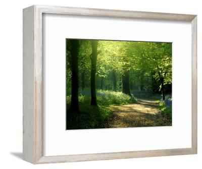 Track Leading Through Lanhydrock Beech Woodland with Bluebells in Spring, Cornwall, UK-Ross Hoddinott-Framed Premium Photographic Print