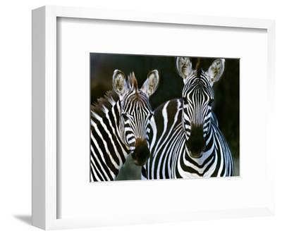 Zebras Africa--Framed Photographic Print