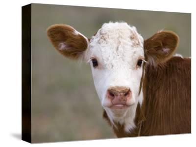 Calf Portrait--Stretched Canvas Print