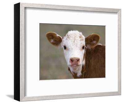Calf Portrait--Framed Photographic Print