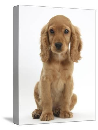 Golden Cocker Spaniel Puppy, Maizy, Sitting-Mark Taylor-Stretched Canvas Print