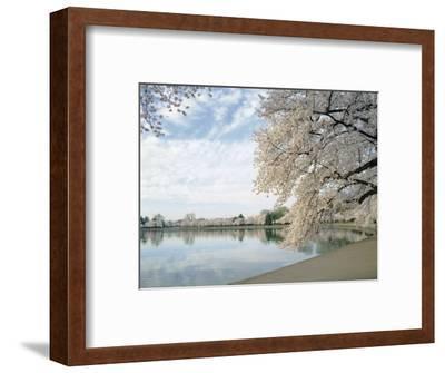 Cherry Blossom Trees around the Tidal Basin, Washington DC, USA--Framed Photographic Print