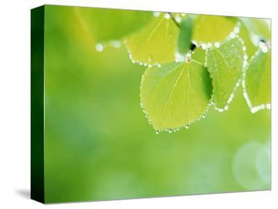 Selective Focus Close Up of Green Leaves Hanging from Tree--Stretched Canvas Print