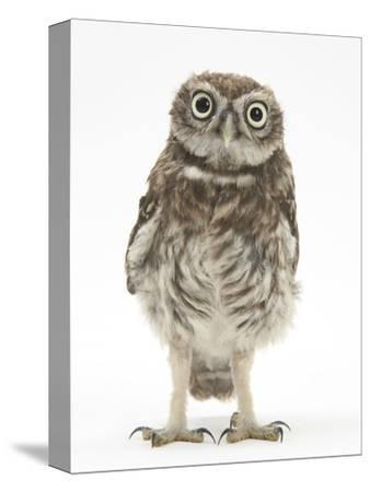 Portrait of a Young Little Owl (Athene Noctua)-Mark Taylor-Stretched Canvas Print