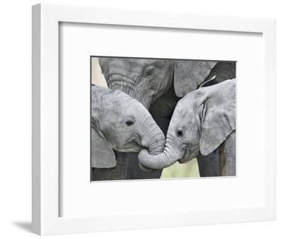African Elephant Calves (Loxodonta Africana) Holding Trunks, Tanzania--Framed Premium Photographic Print