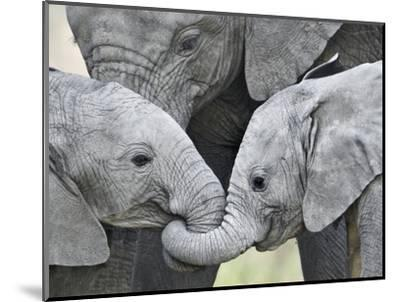 African Elephant Calves (Loxodonta Africana) Holding Trunks, Tanzania--Mounted Premium Photographic Print