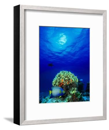 Queen Angelfish and Blue Chromis with Black Durgon in the Sea--Framed Photographic Print