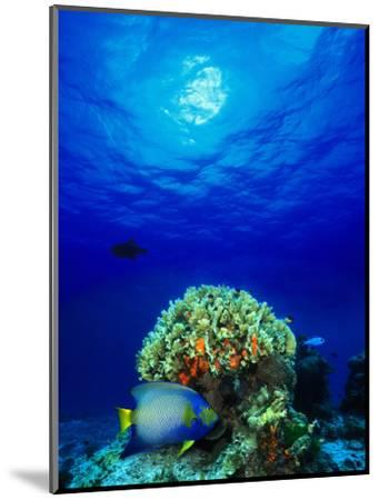 Queen Angelfish and Blue Chromis with Black Durgon in the Sea--Mounted Photographic Print