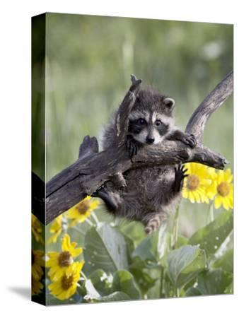 Captive Baby Raccoon, Animals of Montana, Bozeman, Montana, USA-James Hager-Stretched Canvas Print