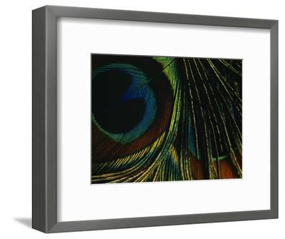 Close-up of a Peacock Feather--Framed Photographic Print
