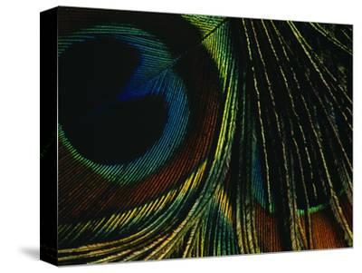 Close-up of a Peacock Feather--Stretched Canvas Print