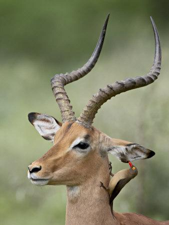 Impala with a Red-Billed Oxpecker Cleaning its Ear, Kruger National Park, South Africa-James Hager-Photographic Print