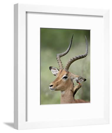 Impala with a Red-Billed Oxpecker Cleaning its Ear, Kruger National Park, South Africa-James Hager-Framed Photographic Print