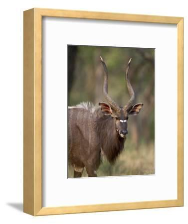 Male Nyala, Imfolozi Game Reserve, South Africa, Africa-James Hager-Framed Photographic Print