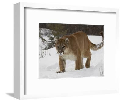 Mountain Lion or Cougar in Snow, Near Bozeman, Montana, USA-James Hager-Framed Photographic Print