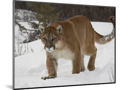 Mountain Lion or Cougar in Snow, Near Bozeman, Montana, USA-James Hager-Mounted Photographic Print
