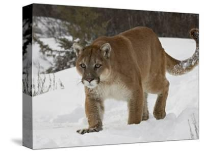 Mountain Lion or Cougar in Snow, Near Bozeman, Montana, USA-James Hager-Stretched Canvas Print