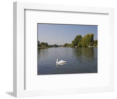 Swan on the River Thames at Walton-On-Thames, Near London, England, United Kingdom, Europe-Hazel Stuart-Framed Photographic Print
