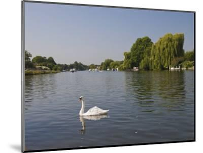 Swan on the River Thames at Walton-On-Thames, Near London, England, United Kingdom, Europe-Hazel Stuart-Mounted Photographic Print