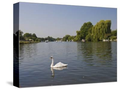 Swan on the River Thames at Walton-On-Thames, Near London, England, United Kingdom, Europe-Hazel Stuart-Stretched Canvas Print