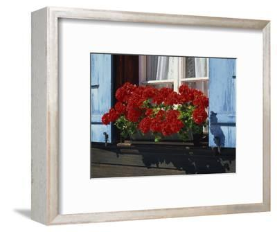 Red Geraniums and Blue Shutters, Bort, Grindelwald, Bern, Switzerland, Europe-Tomlinson Ruth-Framed Photographic Print