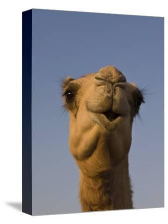 Close-Up of Camel's Head in Bright Evening Light, Near Abu Dhabi-Martin Child-Stretched Canvas Print