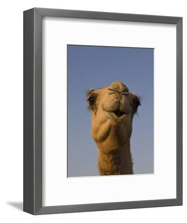Close-Up of Camel's Head in Bright Evening Light, Near Abu Dhabi-Martin Child-Framed Photographic Print