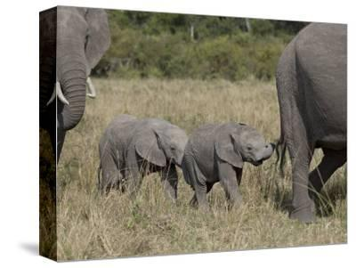 Two Young African Elephant, Masai Mara National Reserve-James Hager-Stretched Canvas Print