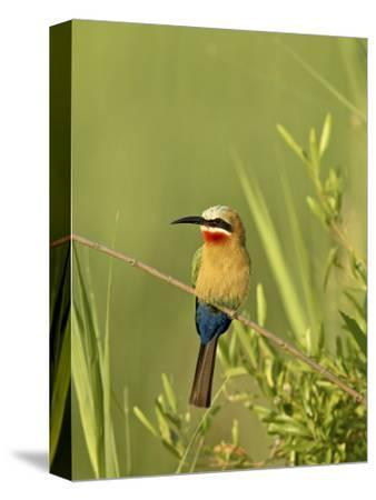 White-Fronted Bee-Eater, Kruger National Park, South Africa, Africa-James Hager-Stretched Canvas Print