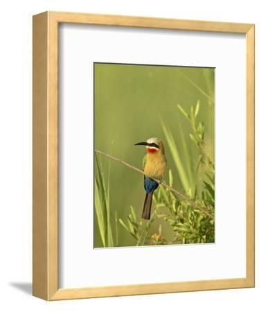 White-Fronted Bee-Eater, Kruger National Park, South Africa, Africa-James Hager-Framed Photographic Print