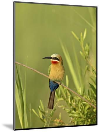 White-Fronted Bee-Eater, Kruger National Park, South Africa, Africa-James Hager-Mounted Photographic Print