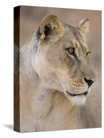 Lioness (Panthera Leo), Kgalagadi Transfrontier Park, South Africa, Africa-Ann & Steve Toon-Stretched Canvas Print