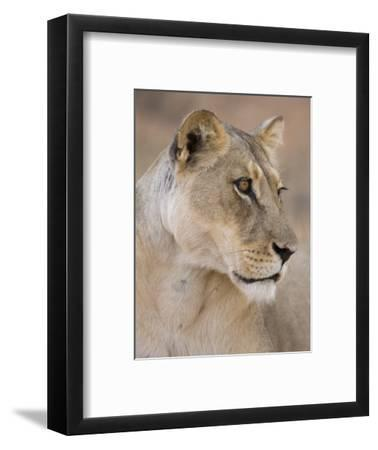 Lioness (Panthera Leo), Kgalagadi Transfrontier Park, South Africa, Africa-Ann & Steve Toon-Framed Photographic Print