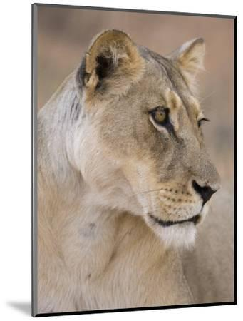 Lioness (Panthera Leo), Kgalagadi Transfrontier Park, South Africa, Africa-Ann & Steve Toon-Mounted Photographic Print