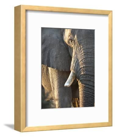 Close Up of Partial Face, African Elephant (Loxodonta Africana), Etosha National Park, Namibia-Kim Walker-Framed Photographic Print