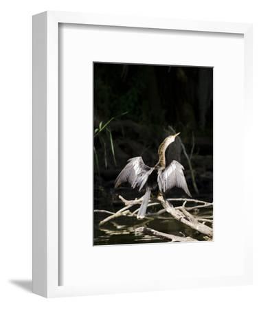 Anhinga (Anhinga Anhinga), Everglades, UNESCO World Heritage Site, Florida, USA, North America-Michael DeFreitas-Framed Photographic Print