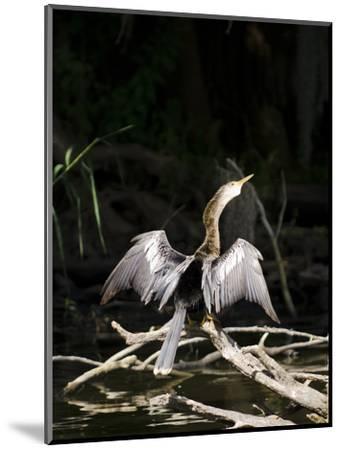 Anhinga (Anhinga Anhinga), Everglades, UNESCO World Heritage Site, Florida, USA, North America-Michael DeFreitas-Mounted Photographic Print