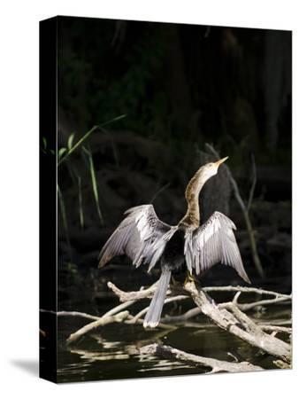 Anhinga (Anhinga Anhinga), Everglades, UNESCO World Heritage Site, Florida, USA, North America-Michael DeFreitas-Stretched Canvas Print