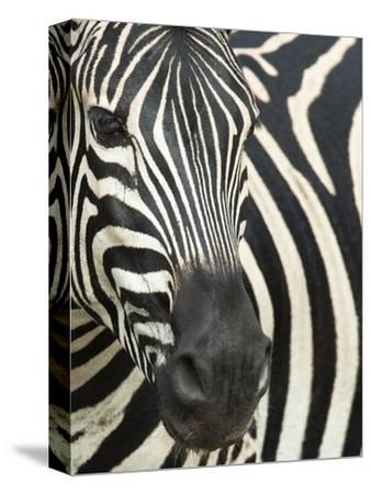 Burchell's (Plains) Zebra (Equus Burchelli), Mhkuze Game Reserve, Kwazulu Natal, South Africa-Ann & Steve Toon-Stretched Canvas Print
