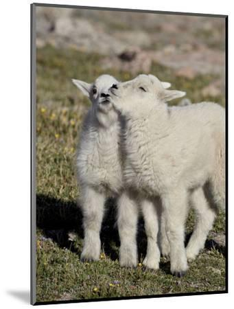 Two Mountain Goat Kids Playing, Mt Evans, Arapaho-Roosevelt Nat'l Forest, Colorado, USA-James Hager-Mounted Photographic Print