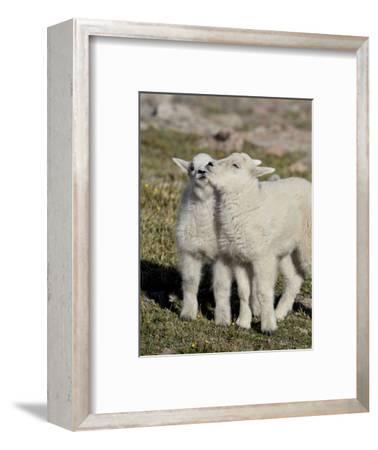 Two Mountain Goat Kids Playing, Mt Evans, Arapaho-Roosevelt Nat'l Forest, Colorado, USA-James Hager-Framed Photographic Print