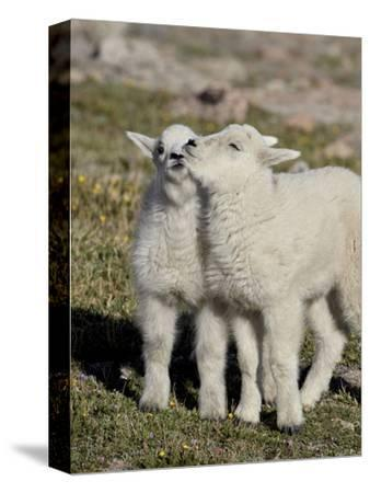 Two Mountain Goat Kids Playing, Mt Evans, Arapaho-Roosevelt Nat'l Forest, Colorado, USA-James Hager-Stretched Canvas Print