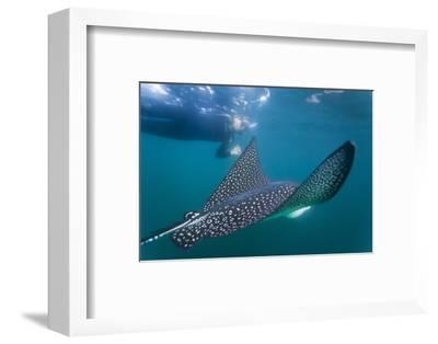 Spotted Eagle Ray (Aetobatus Narinari) Underwater, Leon Dormido Is, San Cristobal Island, Ecuador-Michael Nolan-Framed Photographic Print