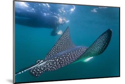 Spotted Eagle Ray (Aetobatus Narinari) Underwater, Leon Dormido Is, San Cristobal Island, Ecuador-Michael Nolan-Mounted Photographic Print