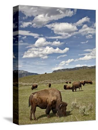 Bison (Bison Bison) Cows Grazing, Yellowstone Nat'l Park, UNESCO World Heritage Site, Wyoming, USA-James Hager-Stretched Canvas Print