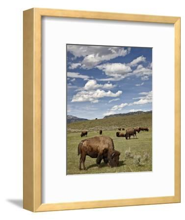 Bison (Bison Bison) Cows Grazing, Yellowstone Nat'l Park, UNESCO World Heritage Site, Wyoming, USA-James Hager-Framed Photographic Print
