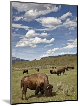 Bison (Bison Bison) Cows Grazing, Yellowstone Nat'l Park, UNESCO World Heritage Site, Wyoming, USA-James Hager-Mounted Photographic Print