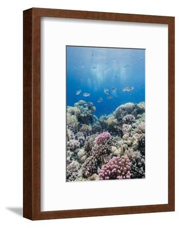 Hard Coral and Tropical Reef Scene, Ras Mohammed Nat'l Pk, Off Sharm El Sheikh, Egypt, North Africa-Mark Doherty-Framed Photographic Print